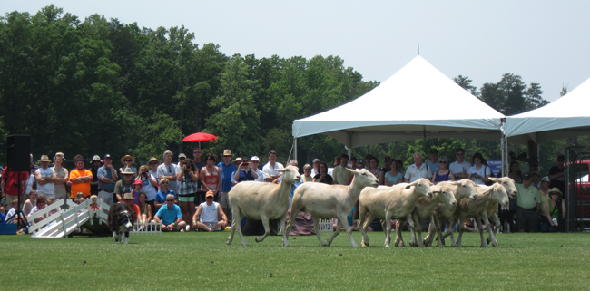 sheep at the border collie demo