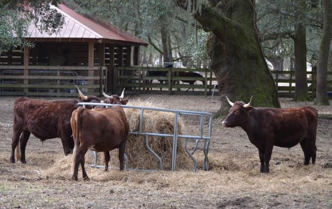 bg_cow