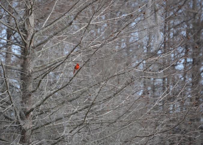 bg_redbird