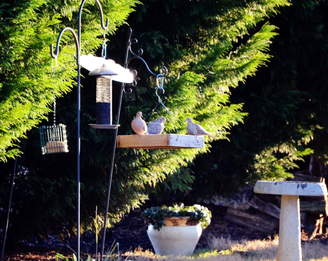 doves eating in the backyard feeder