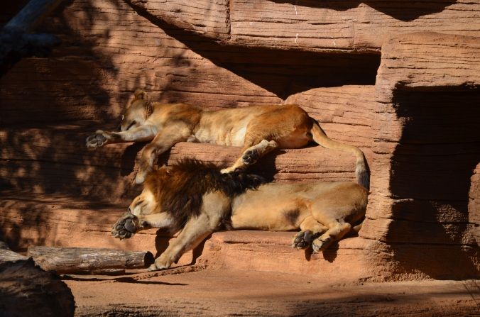 lions sleeping at the zoo in columbia, sc