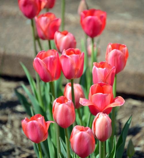 flowerpinktulip