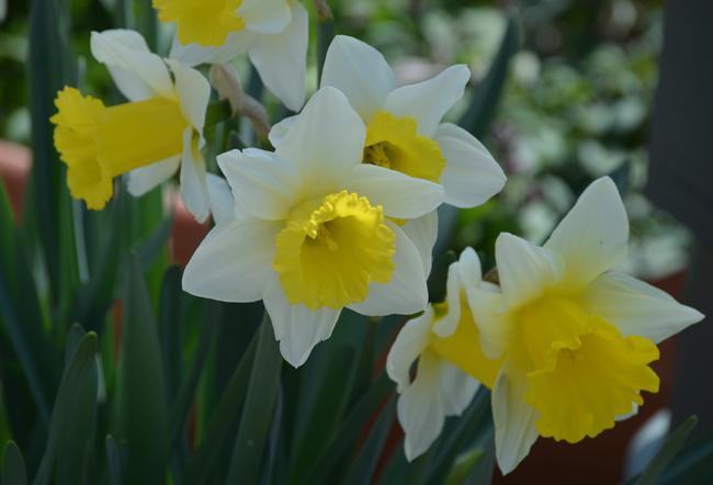 flowersdaffodilnc