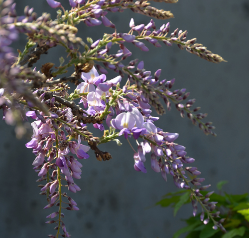 flowerswisteria