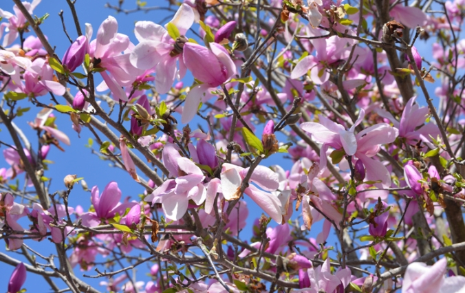 flowertulipmagnolia