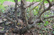Old rose bush with large thorns