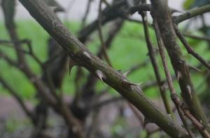 large thorns on rose bush