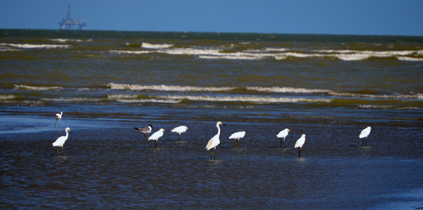 Egrets in the gulf of Mexico