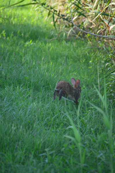 bunny flees at Sabine Wildlife Refuge