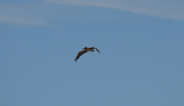 brown pelican in the sky