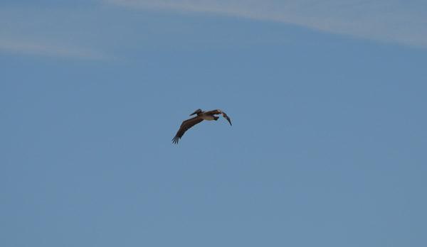 brown pelican in the sky