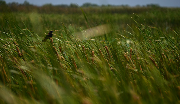 red-winged blackbird in high grass