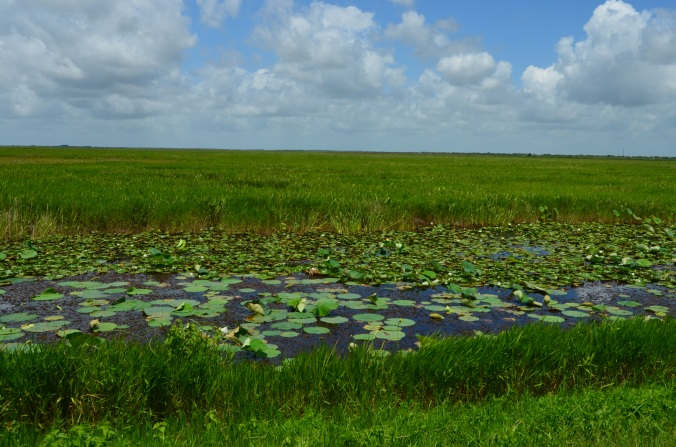 water and lily pads in Lacassine