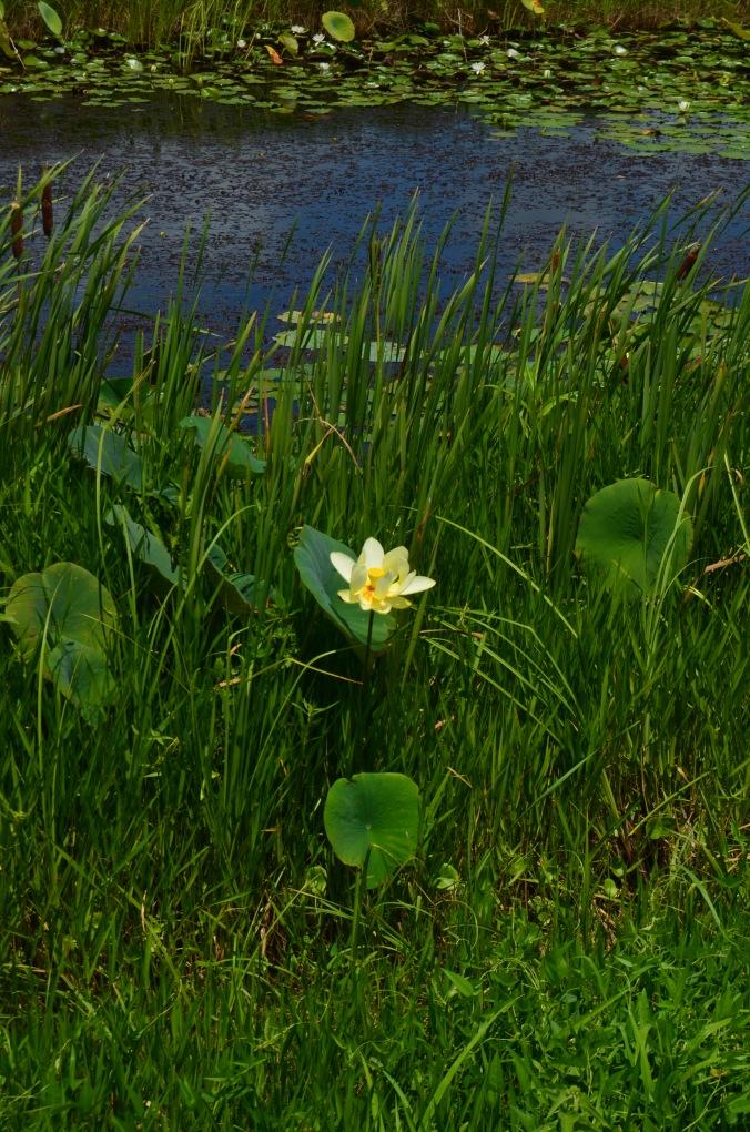 aquatic plant in Lacassine
