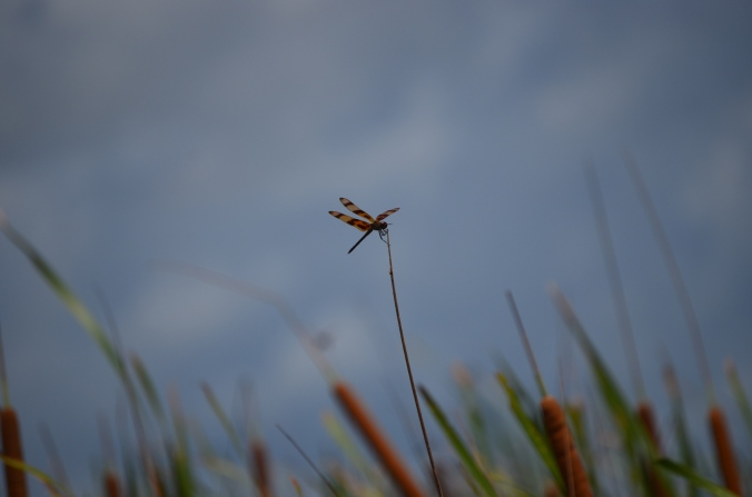 small orange dragonfly