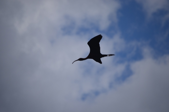 Glossy ibis in the sky