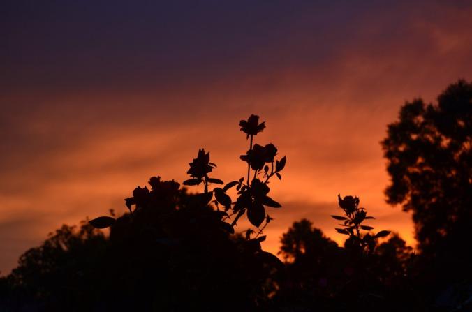 sunset-roses-2-8aug18