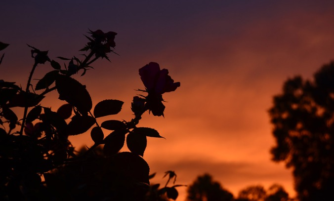 sunset-roses-8aug18